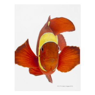 Spine-cheek anemonefish (Premnas biaculeatus) Postcard