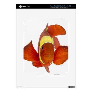 Spine-cheek anemonefish (Premnas biaculeatus) iPad 3 Skins