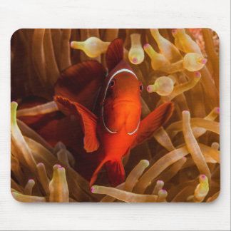 Spinecheek Anemone Clownfish Great Barrier Reef Mouse Pad