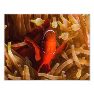 Spinecheek Anemonefish en la gran barrera de coral Fotografías
