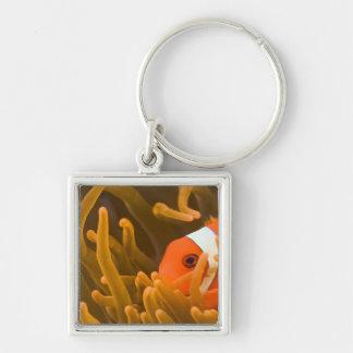 Spinecheek anemonfish, Tulamben, North Bali, Keychain