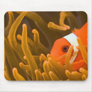 Spinecheek anemonfish, Tulamben, North Bali, Mouse Pad