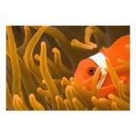Spinecheek anemonfish, Tulamben, North Bali, Photo Art