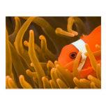 Spinecheek anemonfish, Tulamben, North Bali, Postcard