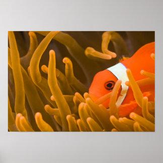 Spinecheek anemonfish, Tulamben, North Bali, Poster