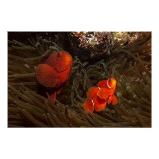 Spinecheek Clownfish Poster