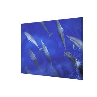 Spinner dolpins Stenella longirostris) Canvas Print