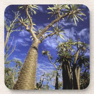 Spiny Forest Formed Of Pachypodium Trees Beverage Coaster