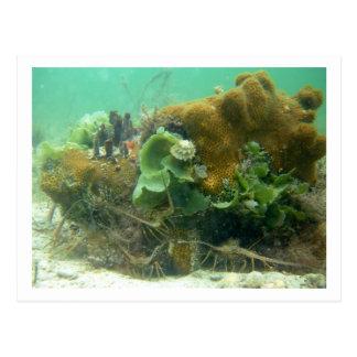 Spiny Lobster (Panulirus argus) Post Card