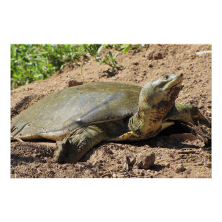 Spiny Softshell Turtle Poster