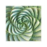 Spiral Aloe photo by Debra Lee Baldwin Canvas Print