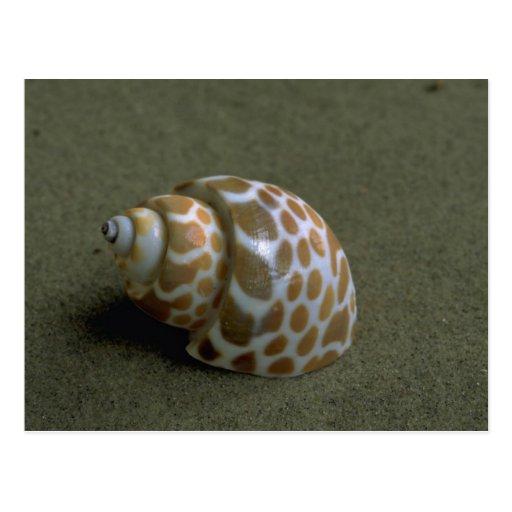 Spiral babylon (Babylonia spirata) Shell Postcard