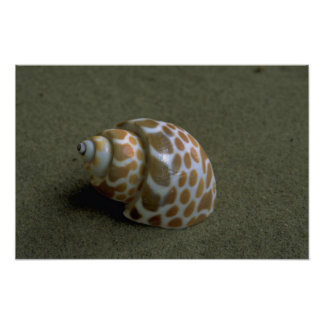 Spiral babylon (Babylonia spirata) Shell Poster