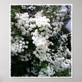 Spirea floreciente blanco póster