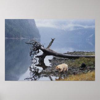 spirit bear, Kermode, black bear, sow with a Poster