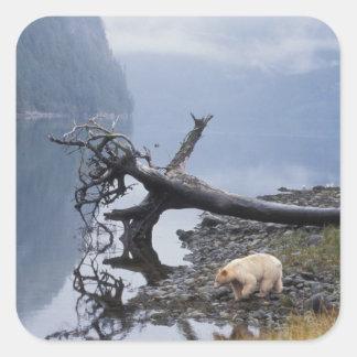 spirit bear, Kermode, black bear, sow with a Square Sticker