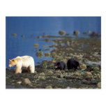 spirit bear, kermode, black bear, Ursus Postcard