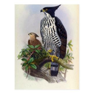Spizaetus Alboniger (Blyth's hawk-eagle) Postcard