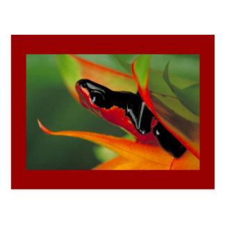 Splash-backed poison frog Postcard
