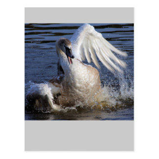 Splashing Cygnet Postcard