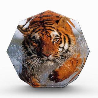 Splashing Majestic Bengal Tiger Swim Toward Prey Award