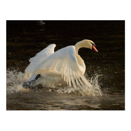 Splashing Swan Postcard