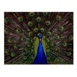 Splendid Peacock Postcard
