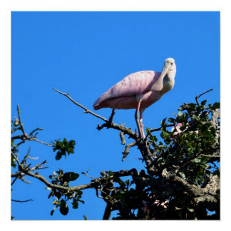 Spoonbill in the wild poster