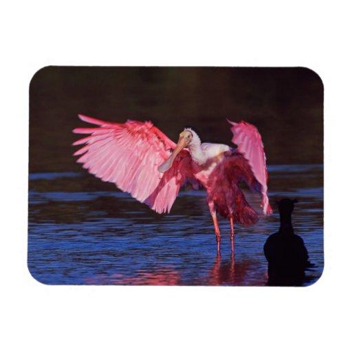 Spoonbill rosado (ajaja del Ajaia) con el cormorán Imán Rectangular