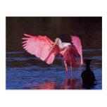 Spoonbill rosado (ajaja del Ajaia) con el cormorán Postales