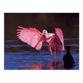 Spoonbill rosado (ajaja del Ajaia) con el cormorán Postal