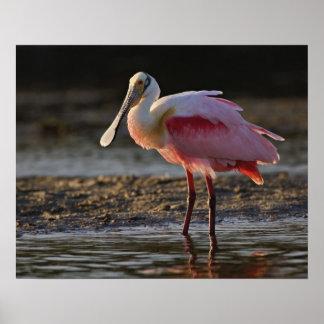 Spoonbill rosado ajaja del Ajaia querido del til Poster