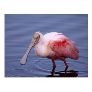 Spoonbill rosado (ajaja del Ajaia) Postales