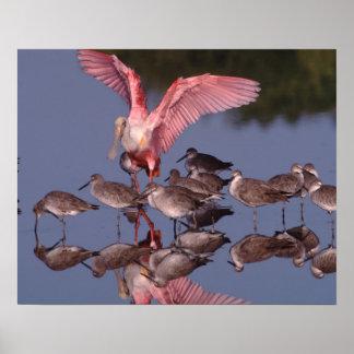 Spoonbill rosado con Willets en agua poco profunda Posters