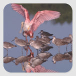 Spoonbill rosado con Willets en agua poco profunda Calcomanias Cuadradas