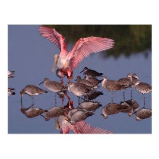 Spoonbill rosado con Willets en agua poco profunda Postal