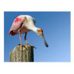 Spoonbill rosado en el poste de madera postal