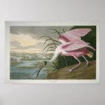 Spoonbill rosado, impresión 1836 impresiones