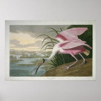 Spoonbill rosado impresión 1836 impresiones