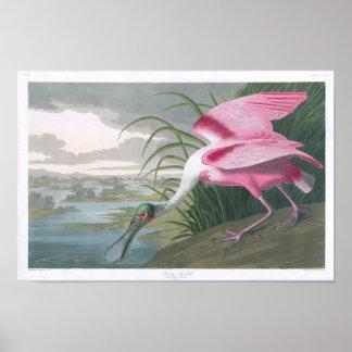 Spoonbill rosado John James Audubon Posters
