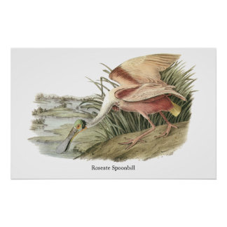 Spoonbill rosado, Juan Audubon Posters