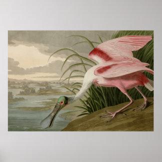 Spoonbill rosado posters