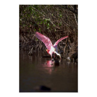 Spoonbill rosado, pescando impresiones