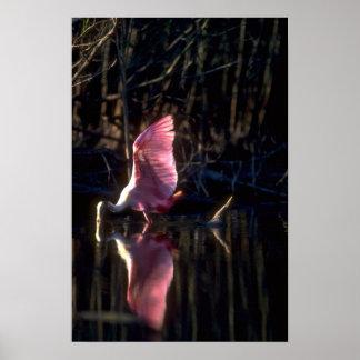 Spoonbill rosado, pescando poster