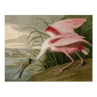 Spoonbill rosado postal