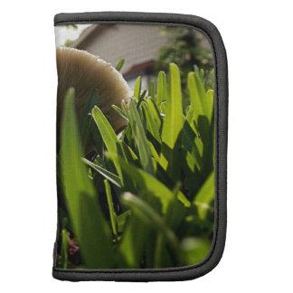 Spored verde Lepiota Planificadores