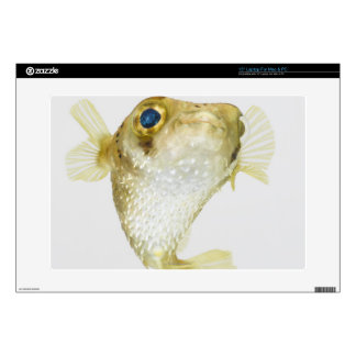 "Spot-fin porcupinefish (Diodon hystrix) 15"" Laptop Skins"