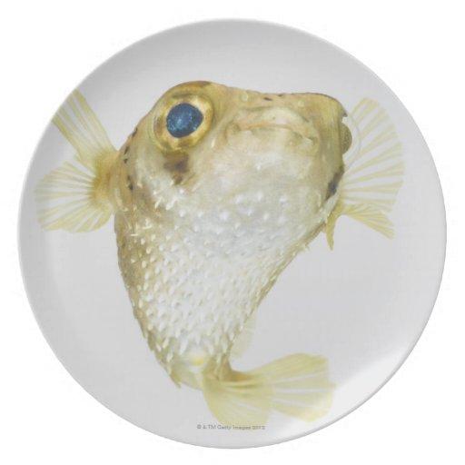 Spot-fin porcupinefish (Diodon hystrix) Dinner Plates