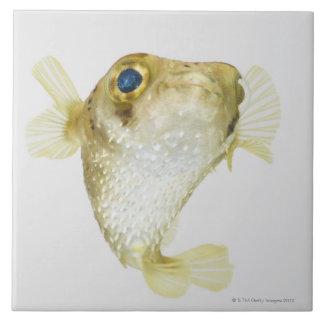 Spot-fin porcupinefish (Diodon hystrix) Tile