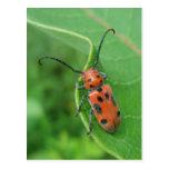 Spotted Asparagus Beetle on Milkweed Postcard